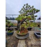 No.NE1203  Japanese black pine
