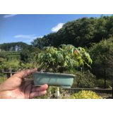 No.FY09-06   Acer palmatum