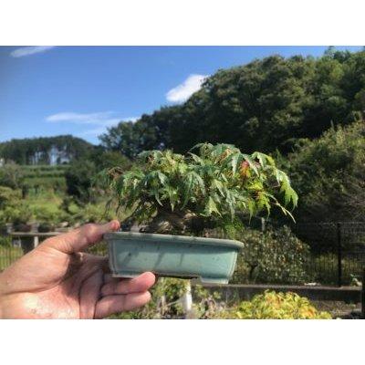 Photo1: No.FY09-06   Acer palmatum