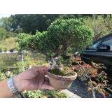 No.FY09-04  Juniperus chinensis
