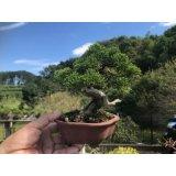 No.FY09-05   Juniperus chinensis