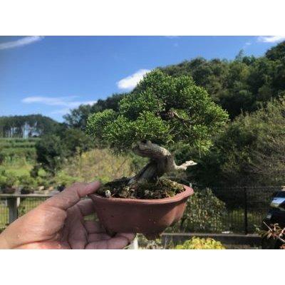 Photo1: No.FY09-05   Juniperus chinensis