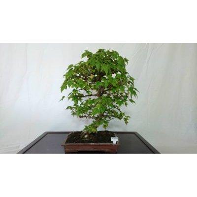 Photo1: No.FY18-30  Acer buergerianum
