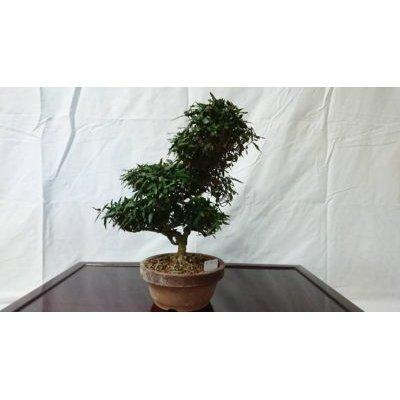 Photo1: No.FY18-16  Trachelospermum asiaticum