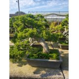 No.NE1101  Juniperus chinensis