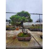 No.NE1204  Japanese black pine