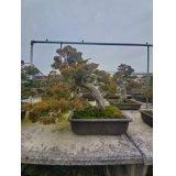 No.NE1205  Juniperus chinensis