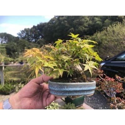 Photo1: No.FY09-01  Acer palmatum