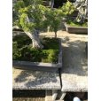 Photo2: No.NE1101 <br>Juniperus chinensis (2)