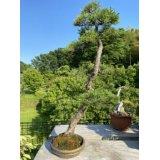 No.FY20-05  Pinus pentaphylla