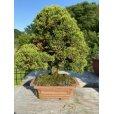 Photo1: No.FY20-06 <br>Juniperus chinensis (1)
