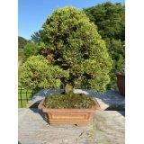 No.FY20-06  Juniperus chinensis