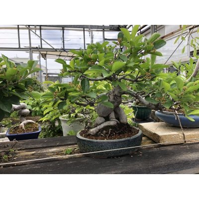 Photo1: No.ONE0004  Pourthiaea villosa var laevis