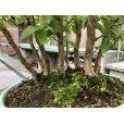 Photo3: No.ONE0006 <br>Stewartia monadelpha (3)