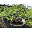 Photo2: No.ONE0004 <br>Pourthiaea villosa var laevis (2)