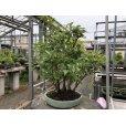 Photo2: No.ONE0006 <br>Stewartia monadelpha (2)