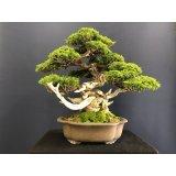 No.SKT0005  Juniperus chinensis, Itoigawa