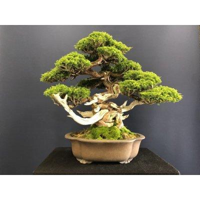 Photo1: No.SKT0005  Juniperus chinensis, Itoigawa