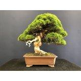 No.SKT0003  Juniperus chinensis, Itoigawa