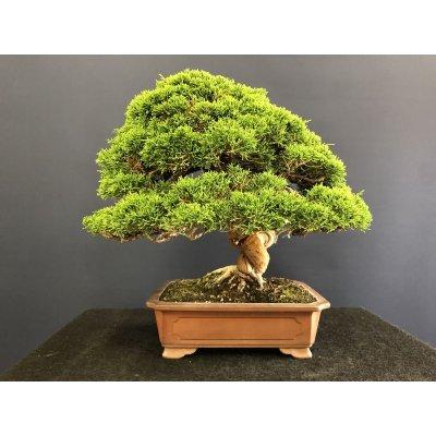 Photo2: No.SKT0003  Juniperus chinensis, Itoigawa