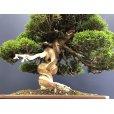 Photo5: No.SKT0003  Juniperus chinensis, Itoigawa