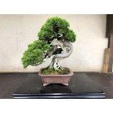 No.YZE0006  Juniperus chinensis