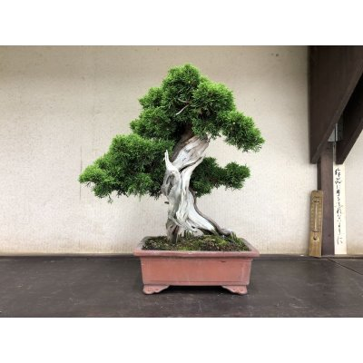 Photo1: No.YZE0005  Juniperus chinensis