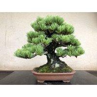 No.YZE0007  Pinus pentaphylla