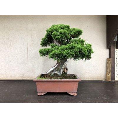 Photo2: No.YZE0005  Juniperus chinensis